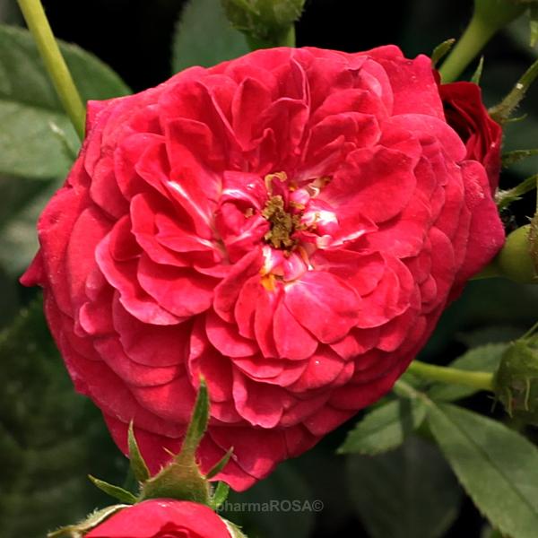 red climber rose discrete fragrance rose kisses of fire buy